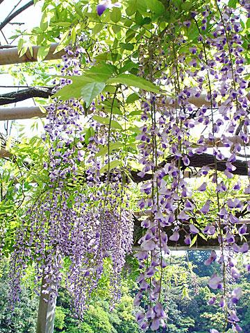 外宮 藤の花